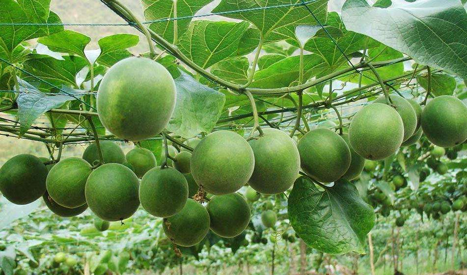 Health Benefits of Monk Fruit1. Safe for diabetesMonk fruit gets its sweetness from natural compounds called mogrosides. It's generally safe for those with diabetes because it doesn't increase blood sugars. Even so, foods and drinks sweetened with monk f…