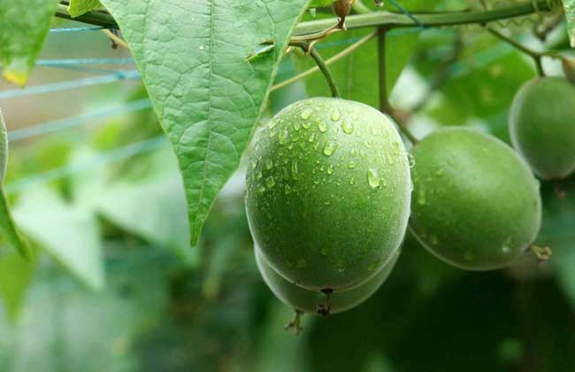 The preservation of Luo Han Guo should be based on two aspects: one is the preservation of fresh monk fruit; the other is the preservation of dried monk fruit after processing.Fresh monk fruit has just been recovered, the fruit has high water content, and