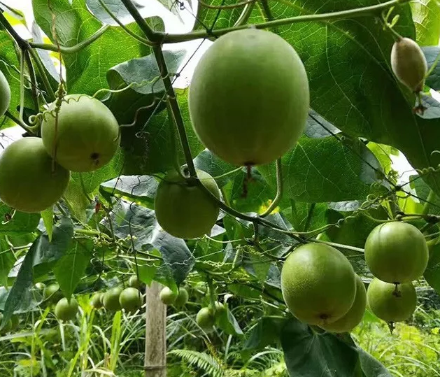The sugar contained in Luo Han Guo is different from sucrose.For esgoside, it is a kind of oligosaccharide.300 times sweeter than sucrose;It also contains fructose, amino acids, flavonoids, etc.monk fruit is sweet because the fruit contains the sweetness