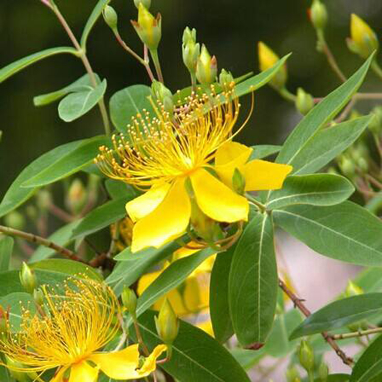 Depression affects more than 300 million people around the world, including 1 in 10 adults in the US alone.While many drugs effectively treat depression, some people prefer to use natural or alternative remedies.St. Johns wort is a medicinal plant that ha