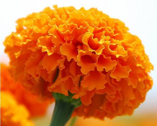 High Antioxidant ContentMarigolds contain numerous antioxidant carotenoids that give the petals their bright orange and yellow colors. An antioxidant is a compound that helps protect the cells from damage caused by free radicals, or hazardous molecules. F